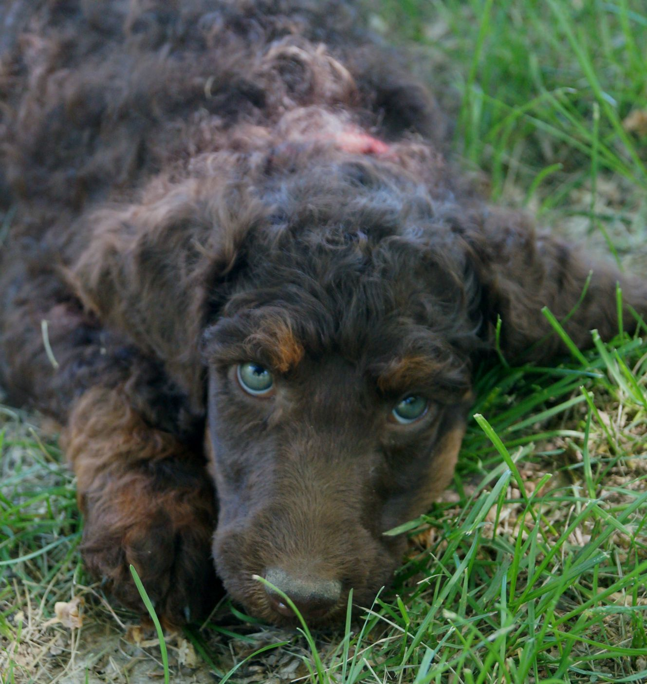 Available puppies poodle phantom poodle poodle puppy