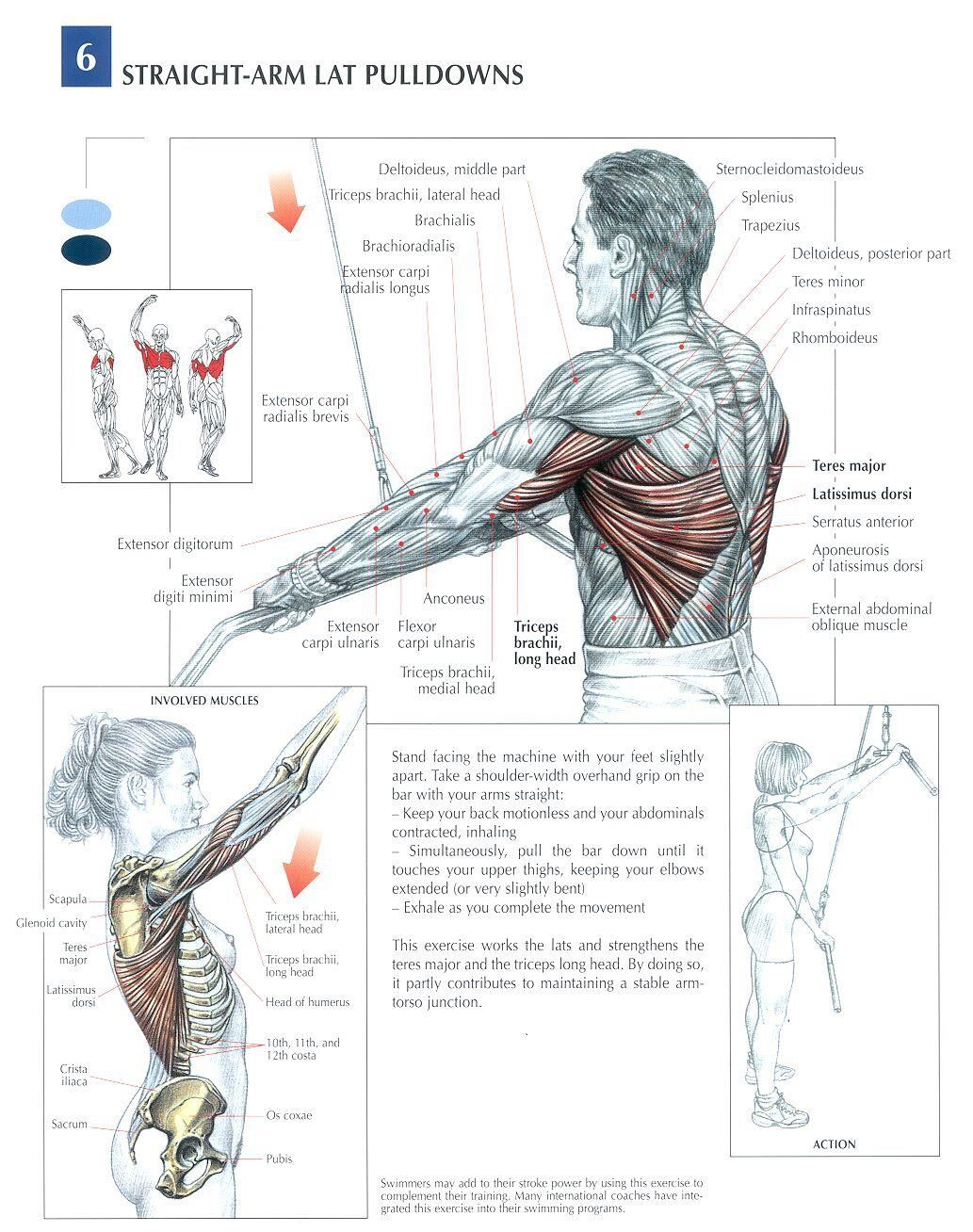 Straight Arm Lat Pulldowns, back muscle workout, muscle diagram ...
