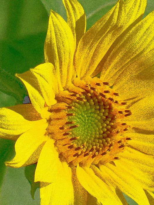 Golden Sunflower by Vickie Ketch