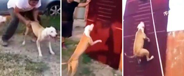 É loucura pensar que umcão podia saltar tão alto, mas estePitbullatinge uma altura impressionante! No video abaixo vais poder vereste Pitbull a realizar um salto impressionante numa parede de escalada! TopaIsto
