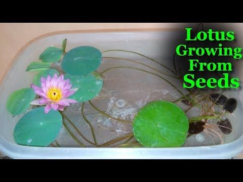 How To Grow Lotus From Seeds at Home | Lotus growing in