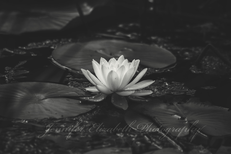 No mud no lotus smart pinterest lotus and lotus flowers no mud no lotus izmirmasajfo Image collections