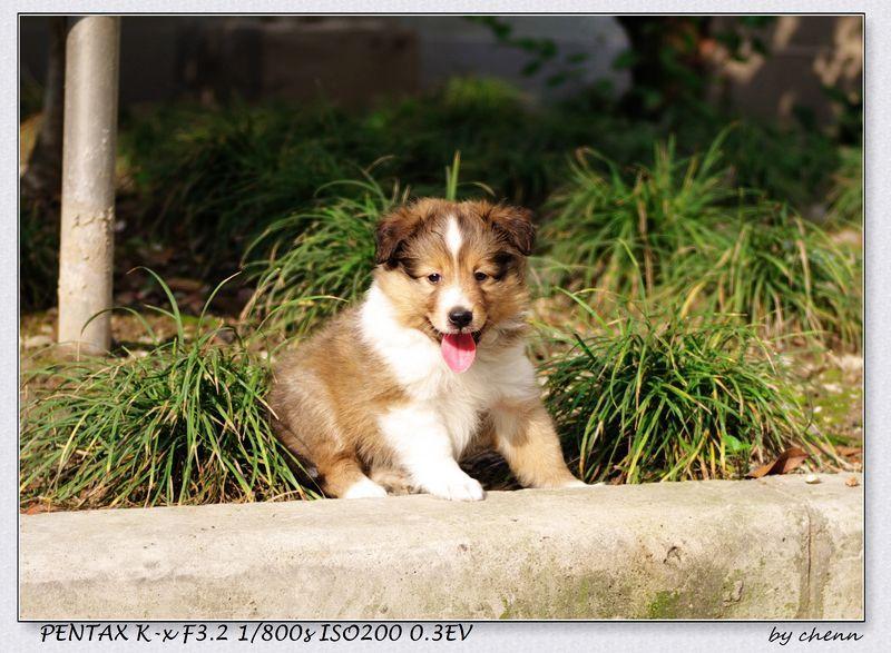 5 Weeks Old Sheltie Puppy Sheltie Sheltie Puppy Puppies