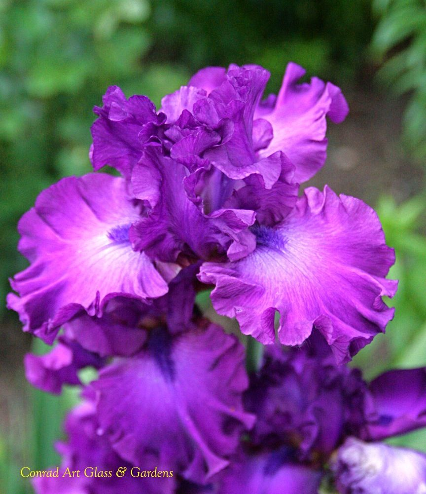 Tall Bearded Iris 'Swingtown'