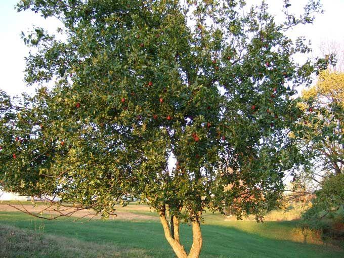 Jujube Tree Http Www Veggiegardeningtips Wp Content