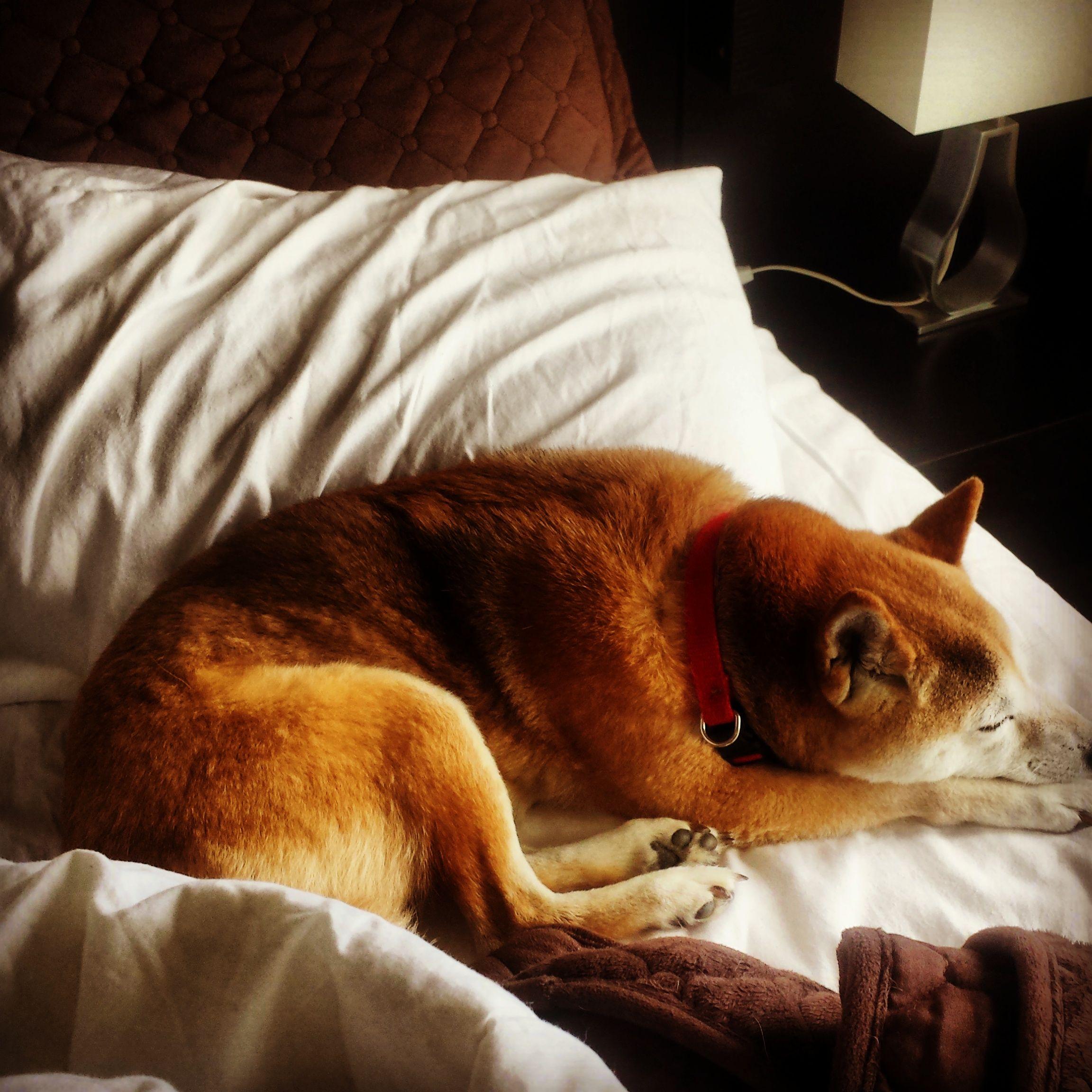 Momo sleeping shiba inu shiba dogs