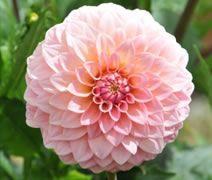Dahlia Society Of Australia Dahlias Australia The Official Dahlia Website Of Australia Flower Farm Dahlia Growing Dahlias