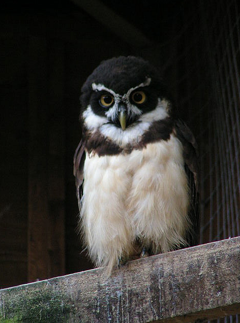 Spectacled Owl (by Brahyih)