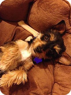 Fresno, CA - Yorkie, Yorkshire Terrier Mix. Meet 'Mary Lou' a Dog for Adoption.