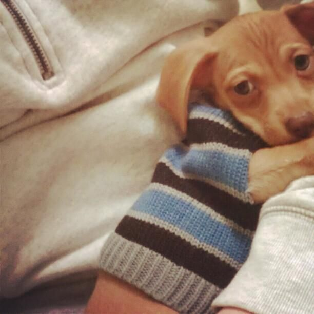 this chiweenie puppie is to0 cute!