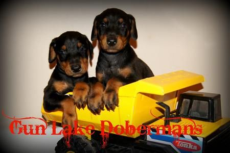 Doberman Pincher Puppies Dobie Pups In Dump Truck Doberman