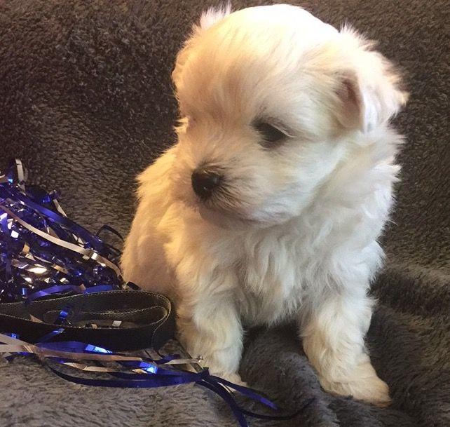 Maltese Puppy For Sale In Lexington Ky Adn 45659 On Puppyfinder
