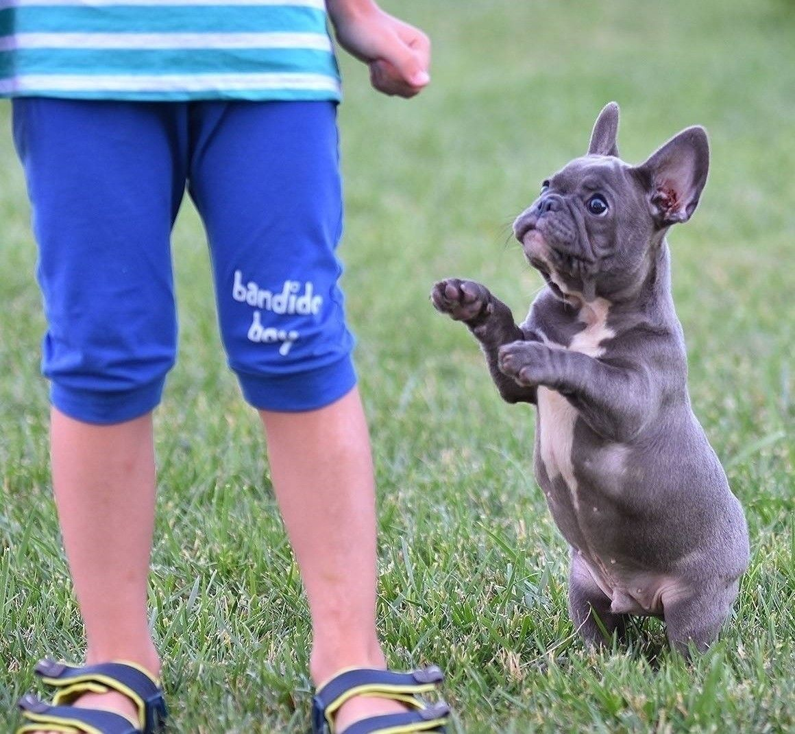 French bulldog puppies for sale college station tx