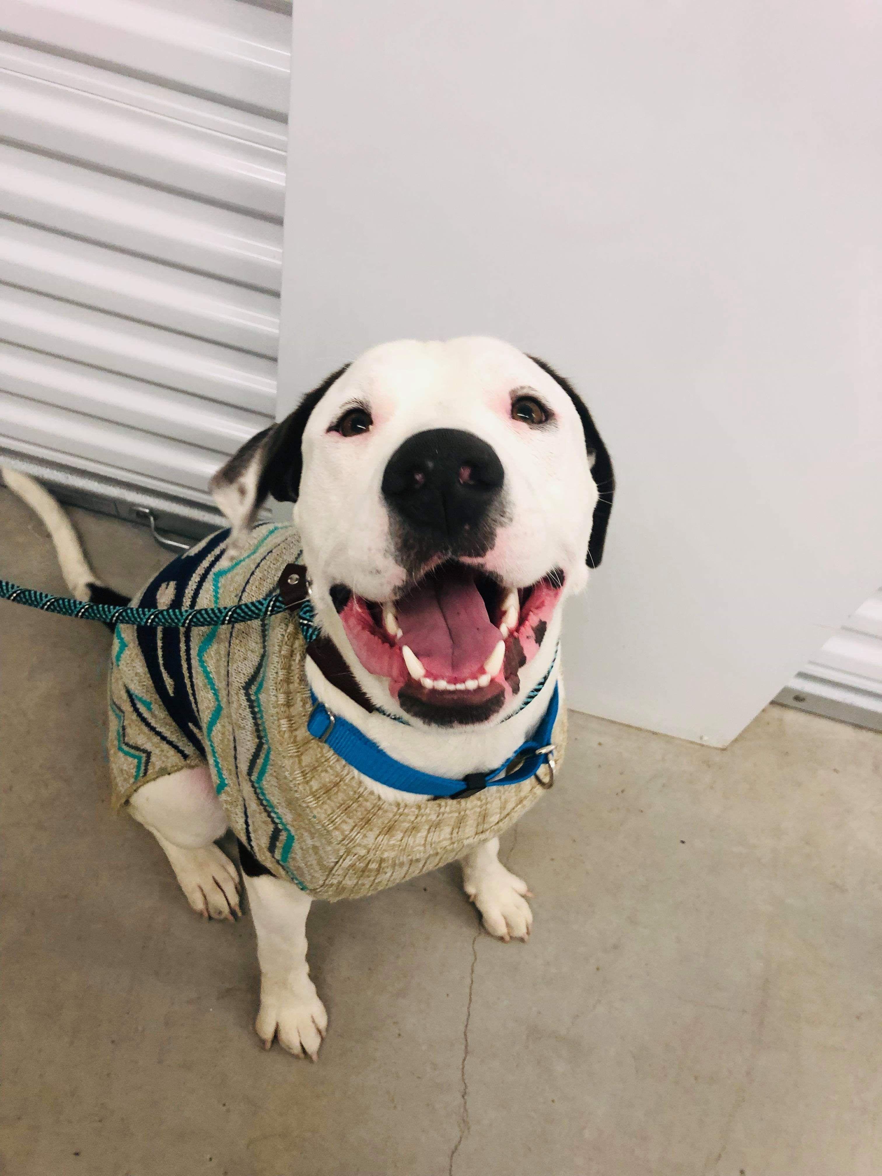Sheprador dog for Adoption in Houston, TX. ADN558301 on