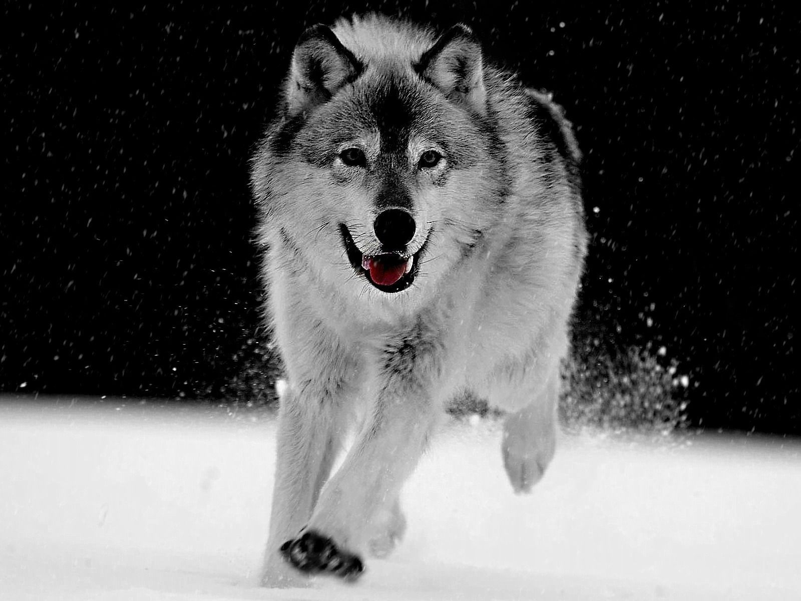 Beautiful Gray Wolf Wallpaper Big - 0ce8010988b799578ff7a944e2c0c761  Best Photo Reference_668062.jpg