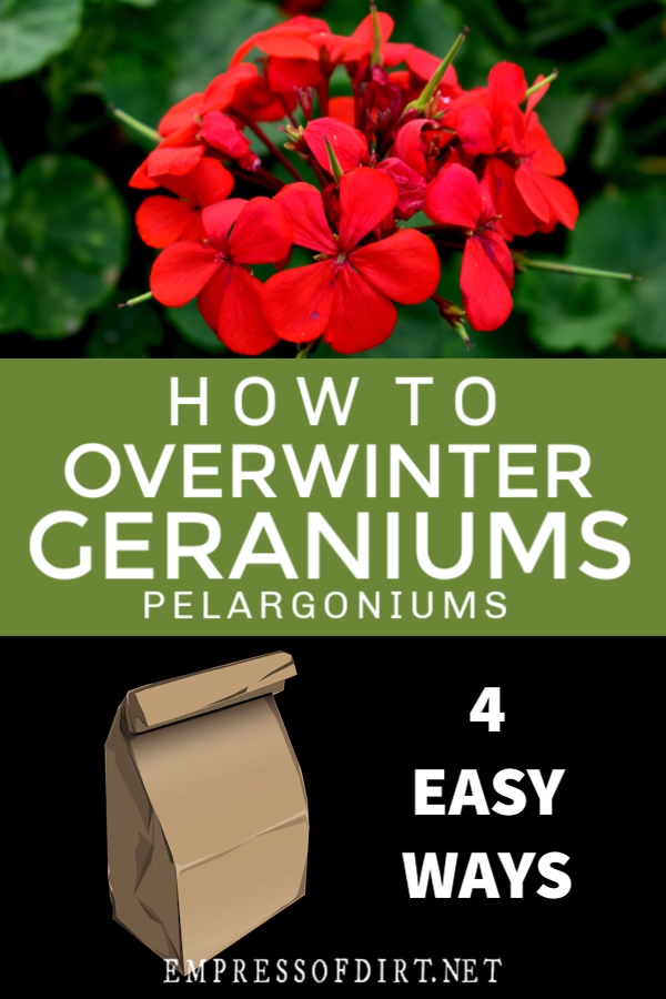 4 Easy Ways to Overwinter Geraniums is part of Overwintering geraniums, Geraniums, Geranium plant, Growing geraniums, Geranium flower, Geranium care - There are several ways to overwinter geraniums (Pelargoniums)  With some newspaper, a cardboard box, paper bag, or a sunny windowsill, you can keep these tender perennials for the winter