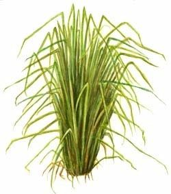 Essential Oil of the Week: Vetiver
