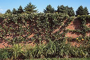 Apple tree on a wall. Loved the apple tree fence, you will have to go to website to see it.