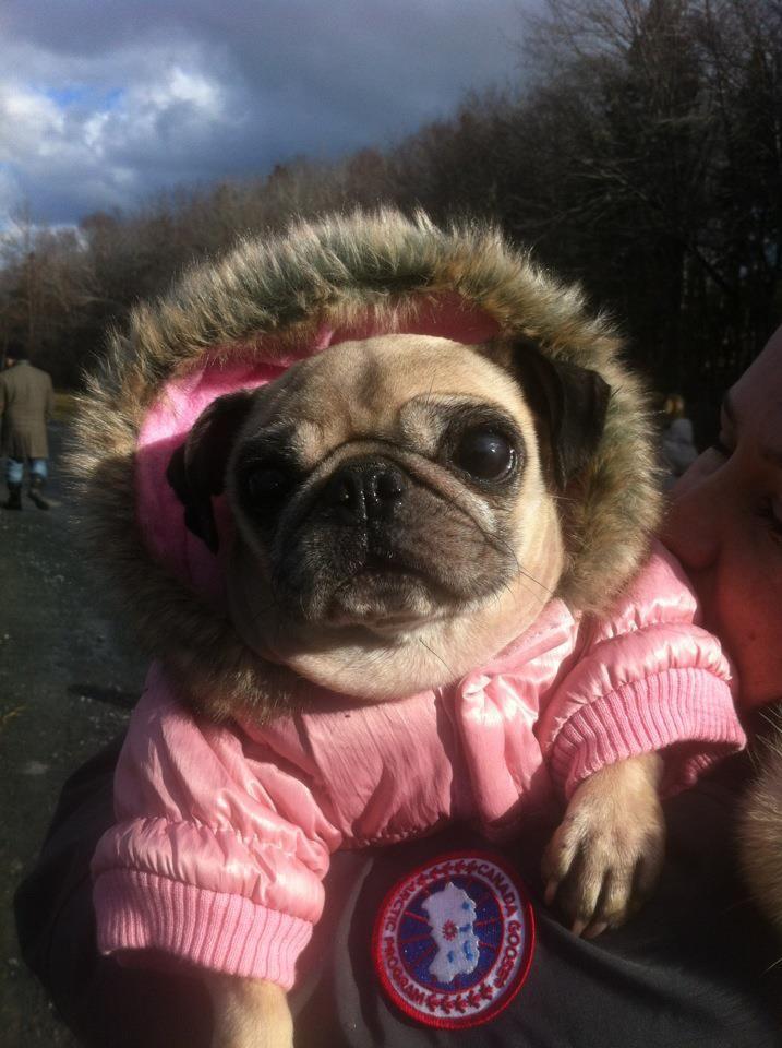 Hey Cuteeee Pug Love Your Pink Coat Baby Pugs Cute
