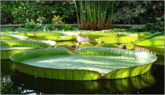 Самая известная мега-кувшинка Виктория амазонская – самая большая в мире кувшинка - . Цветки Виктории амазонской располагаются под водой и распускаются на 2-3 дня один раз в год. Происходит это исключительно в ночное время над водной поверхностью - Читайте подробнее на FB.ru: