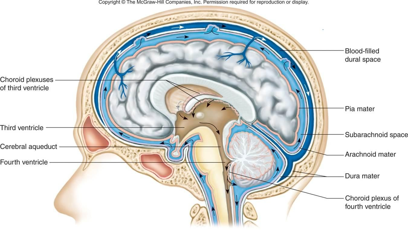 image covering_of_brain for term side of card | Science! | Pinterest ...