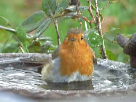 Robin having a bath