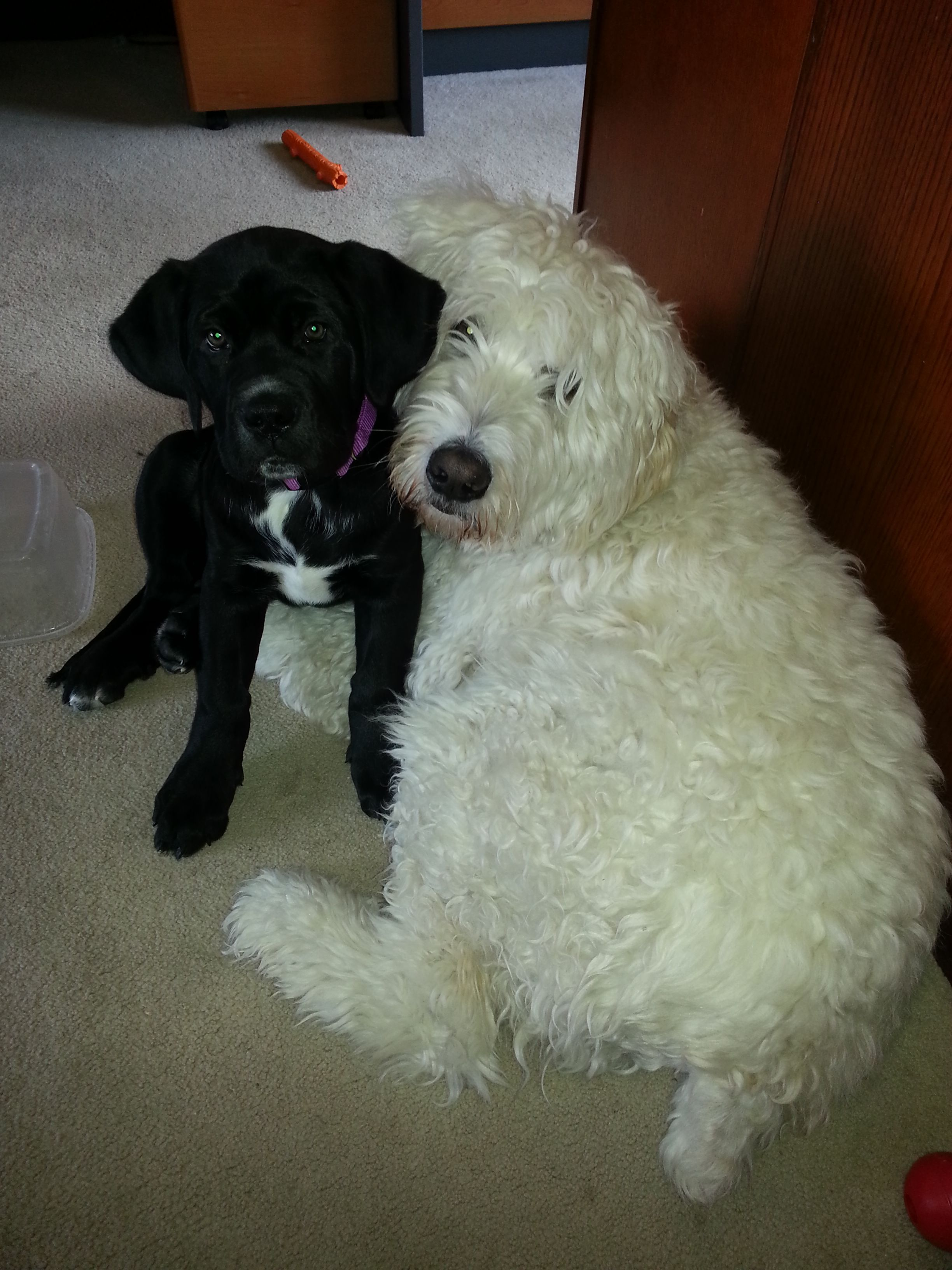 Helga Cane Corso 2 Months And Bear Golden Doodle Best Of Friends
