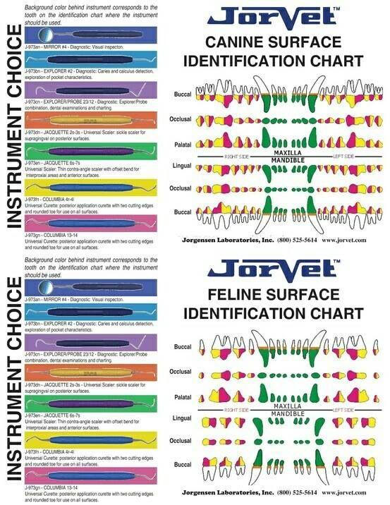 Dental chart veterinary care medicine vet tech student veterinarian technician pet also med rh pinterest
