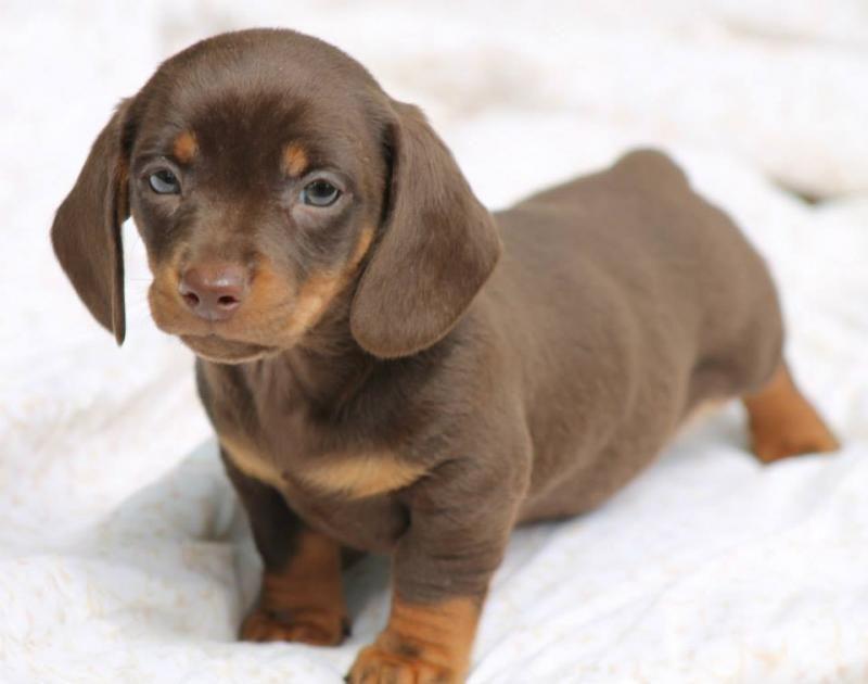 Adopt Junee On Adoptable Dachshund Dog Pet Helpers Dachshund