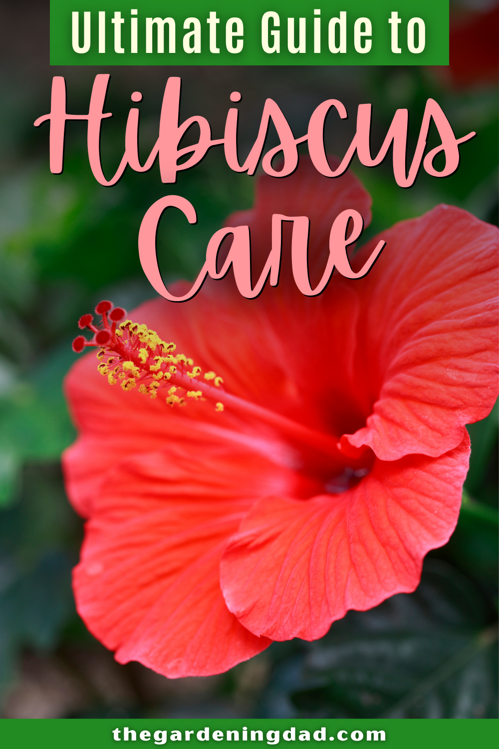 Ultimate Guide To Hibiscus Care Indoors The Gardening Dad In 2020 Hibiscus Plant Hibiscus Flowers Perennials