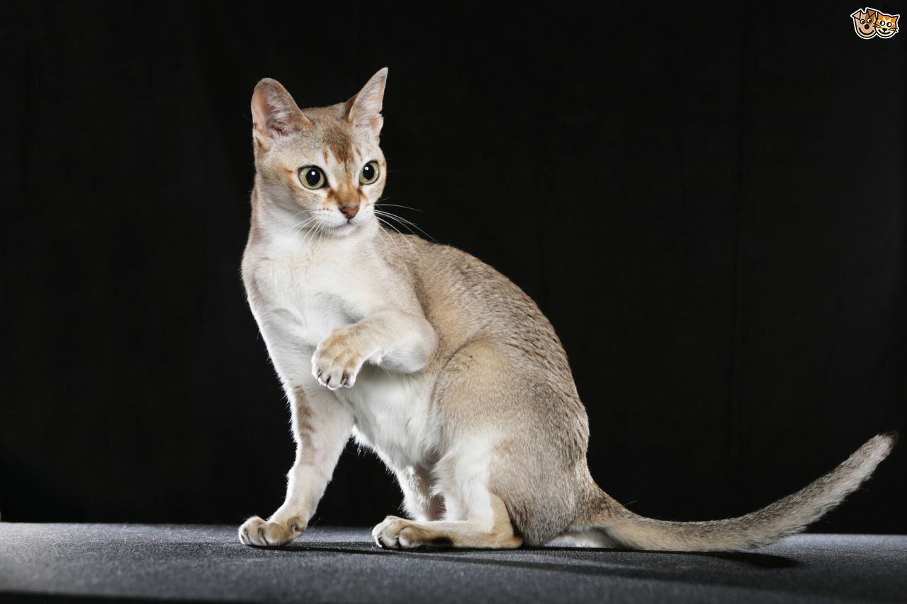 The Singapura Cat | Cats | Pinterest | Cat