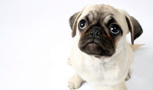 Photo Wrinkly Dog Cute Pug Puppies Dog Breeds