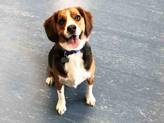 Beagle Dog For Adoption In Hampton Bays Ny Adn 532919 On