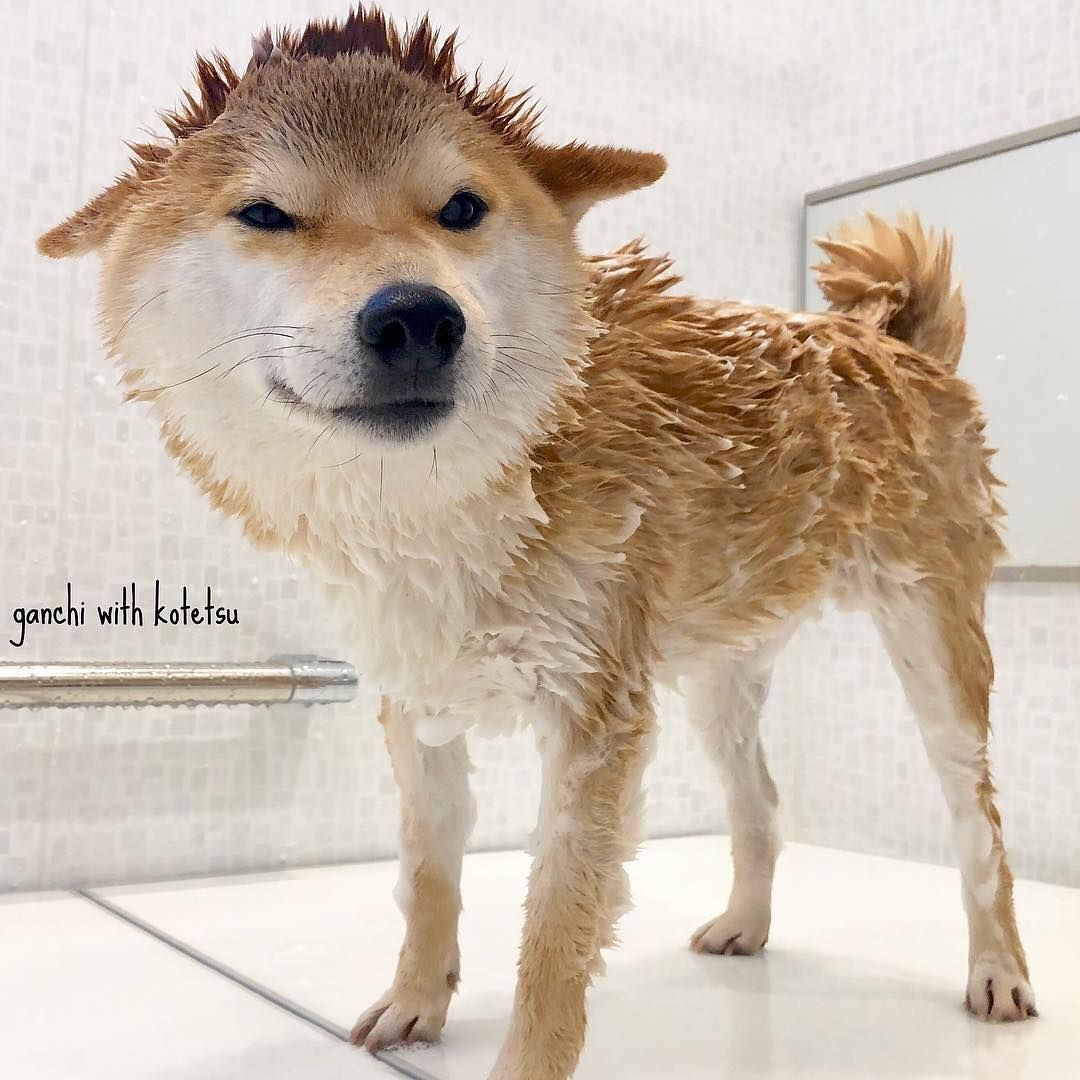 How Often Do You Bathe Your Shiba Too Often Will Dry Out The Skin