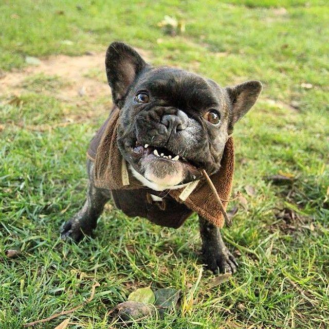 The Gremlin!!! #furbaby #frenchie #frenchbulldog #puppy #buhi #bully #bulldog #barcelona #squishyfacecrew #sophisticatedfrenchies #batpig #cutepets #cutestpets #instapuppy #ilovemyfrenchie by...