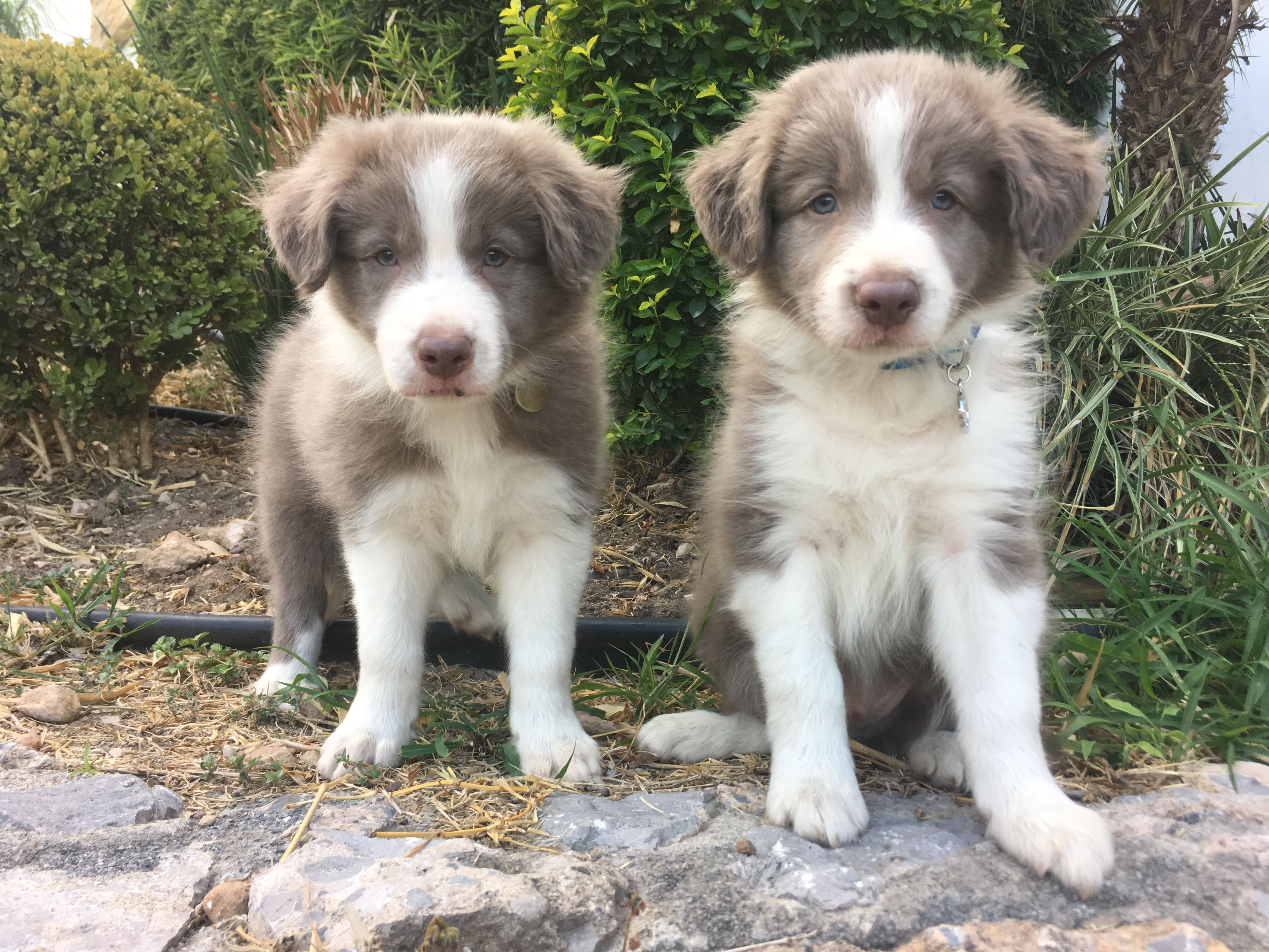 Border collie love adorable puppylilac brothers
