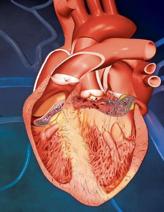 Anatomía de un corazón | LENF | Pinterest | Anatomía, Corazón ...