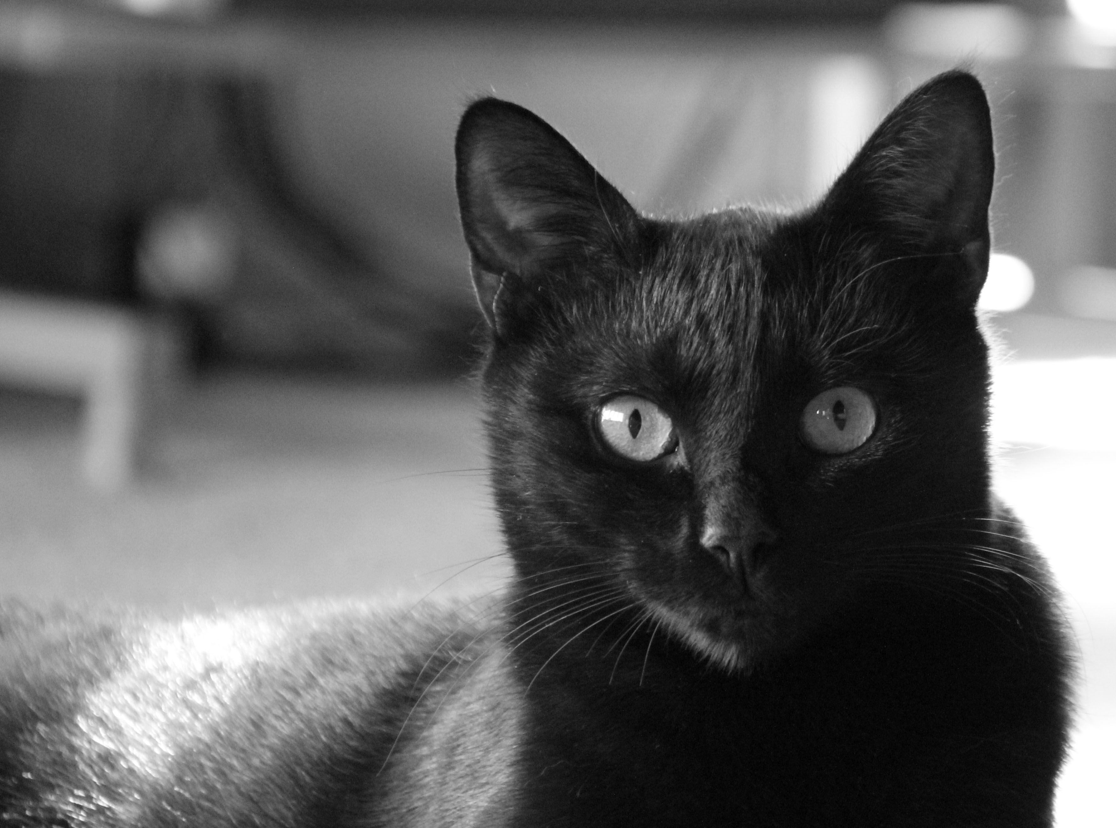 20+ MOST BEAUTIFUL BLACK TONKINESE CAT PHOTOS AND PICTURES