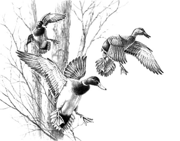 Mallard Duck Coloring Pages Animal Illustration Art Hunting Drawings Hunting Art