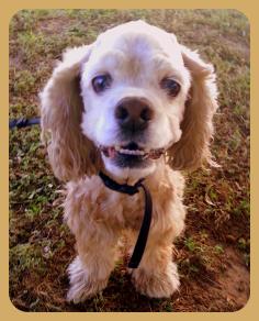 Gracie Cocker Spaniel Rescue Of Austin And San Antonio Adoptdontshop Cocker Spaniel Cocker Spaniel Rescue Dog Adoption