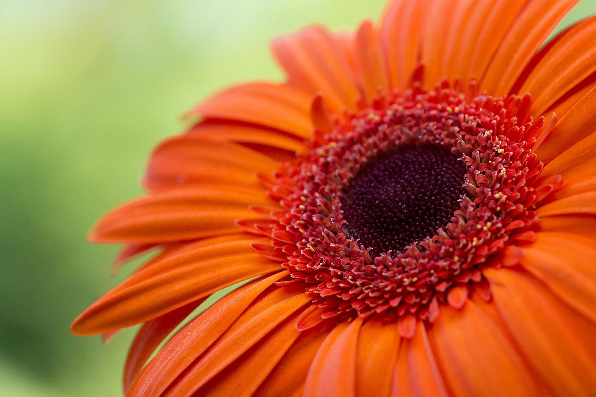 Pin by Kristine on plants calendula, gerbera & marigolds