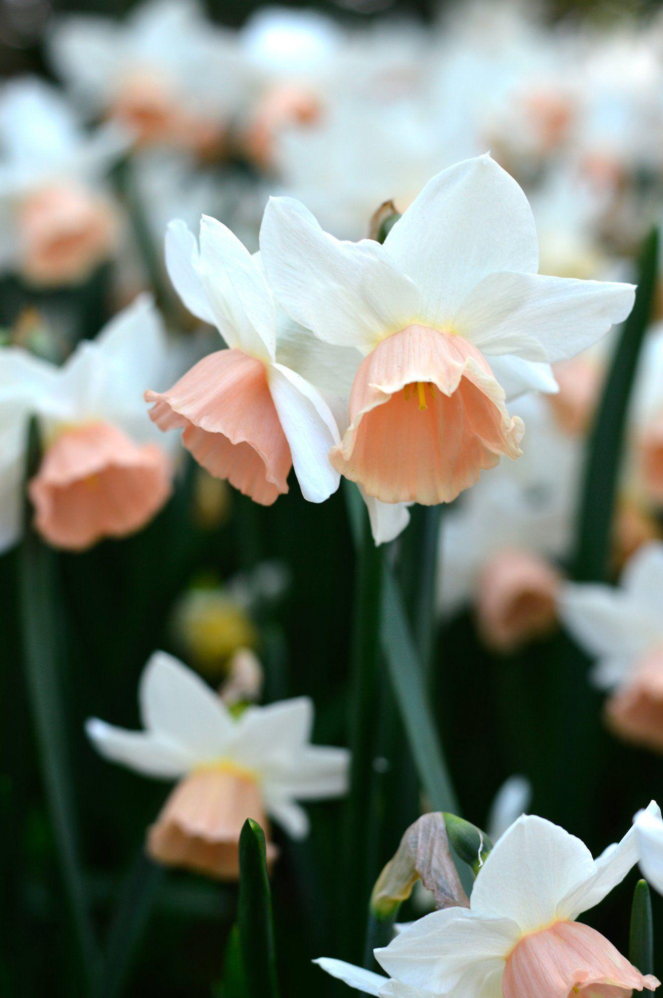 Daffodil Katie Heath