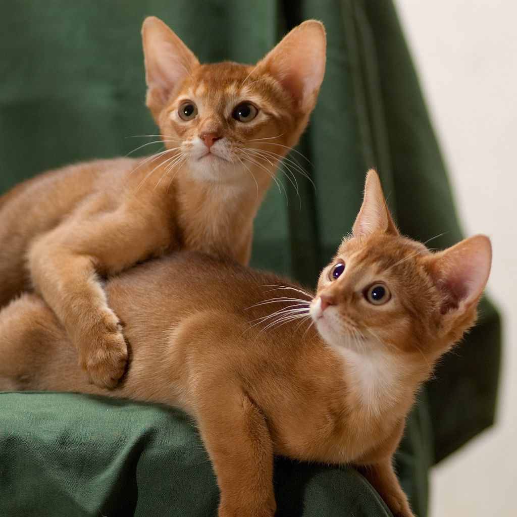 They so cute | Cat Breeds | Pinterest | Abyssinian, Cat and Animal ...