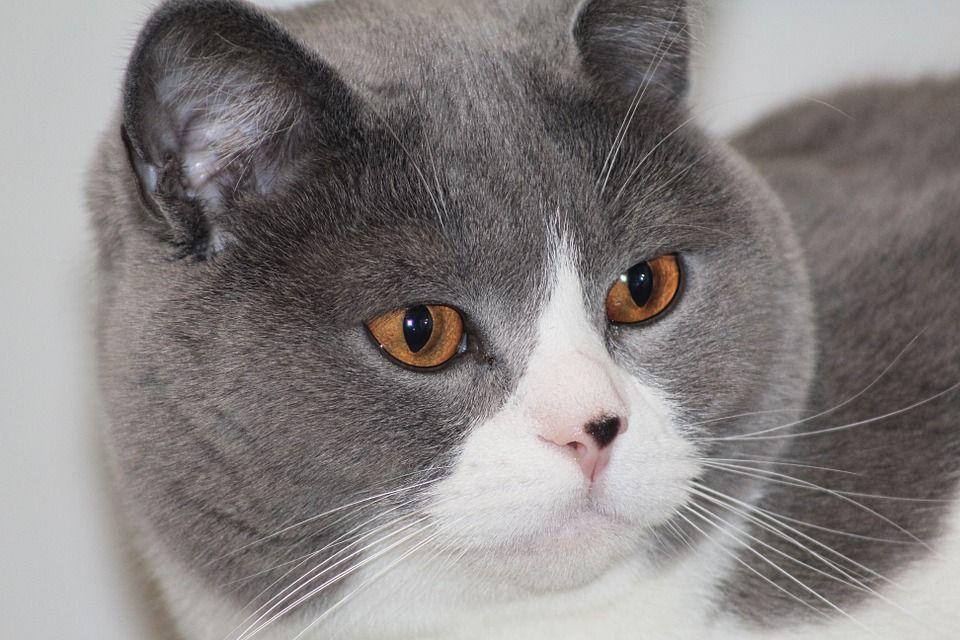 Free Image On Pixabay Cat Portrait Cat Face Expression Cat Face Cats Cat Portraits