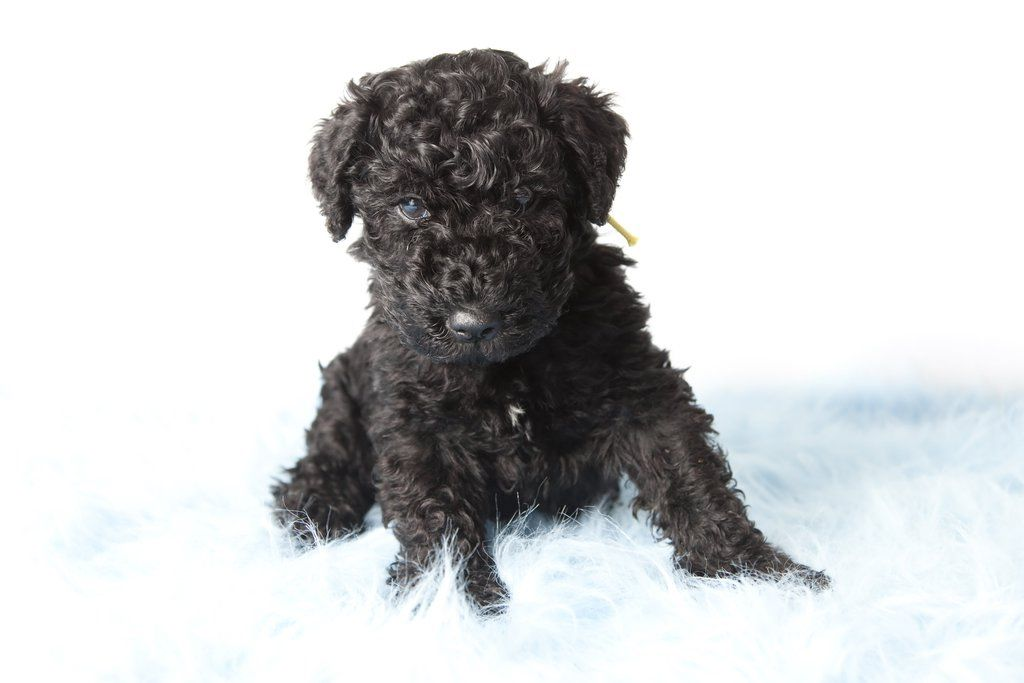 The Mysterious Kerry Blue Terrier Leprechaun Of The Dog World