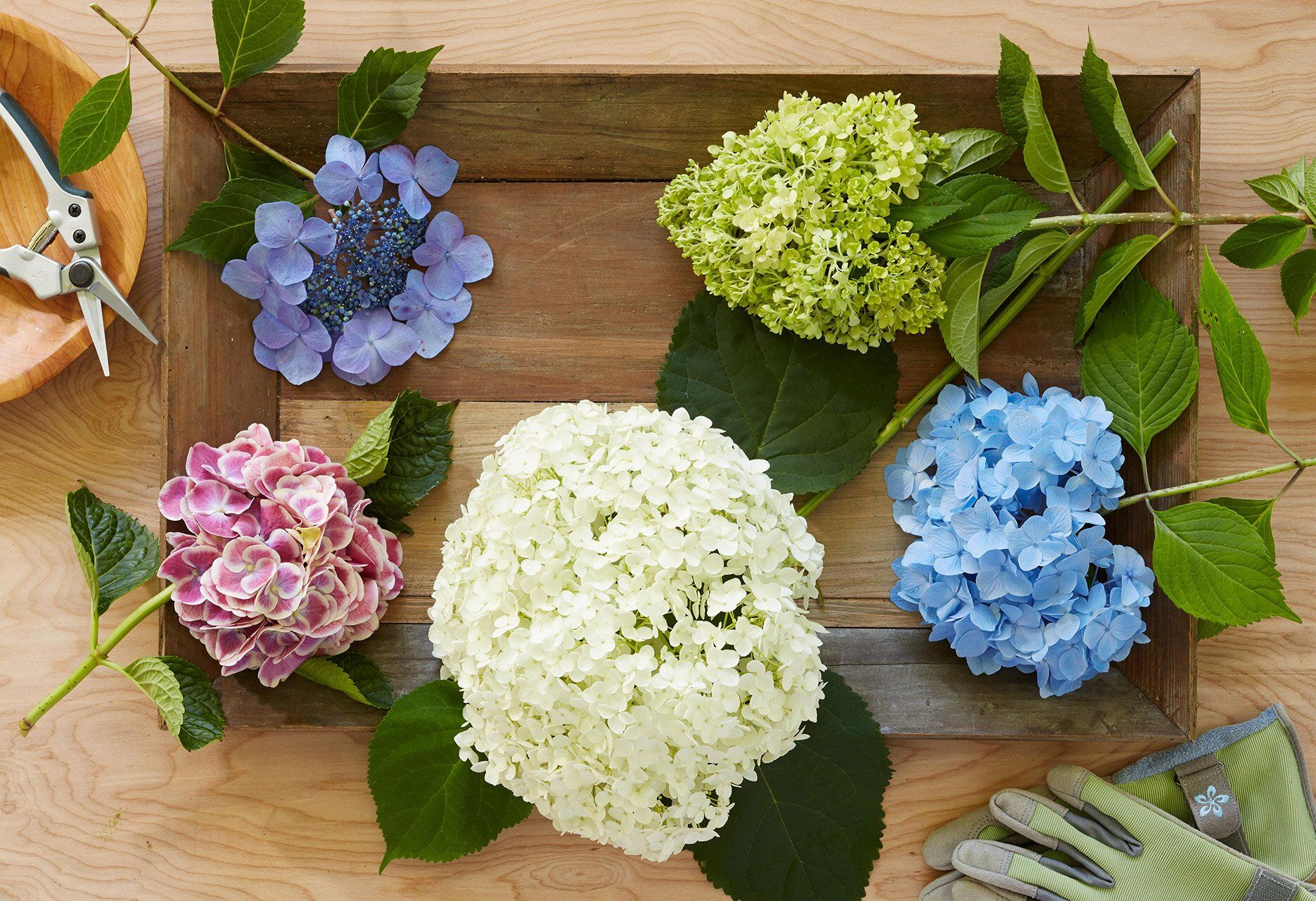 How to prune hydrangeas for the best summer blooms