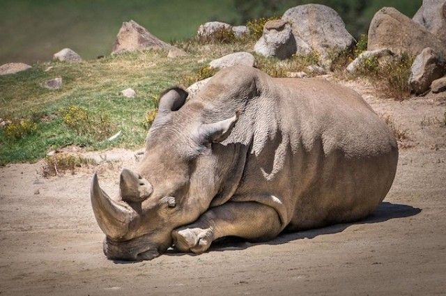 There Are Only Five Northern White Rhinos Left In The World | IFLScience