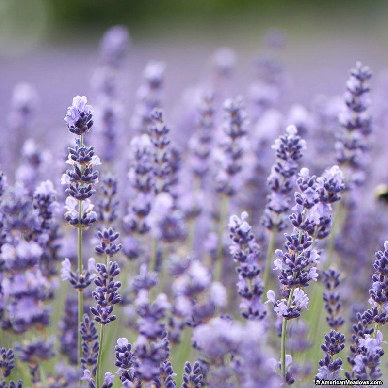 10 44 Types Of Lavender Plants Buy Lavender Plants Lavender Plant