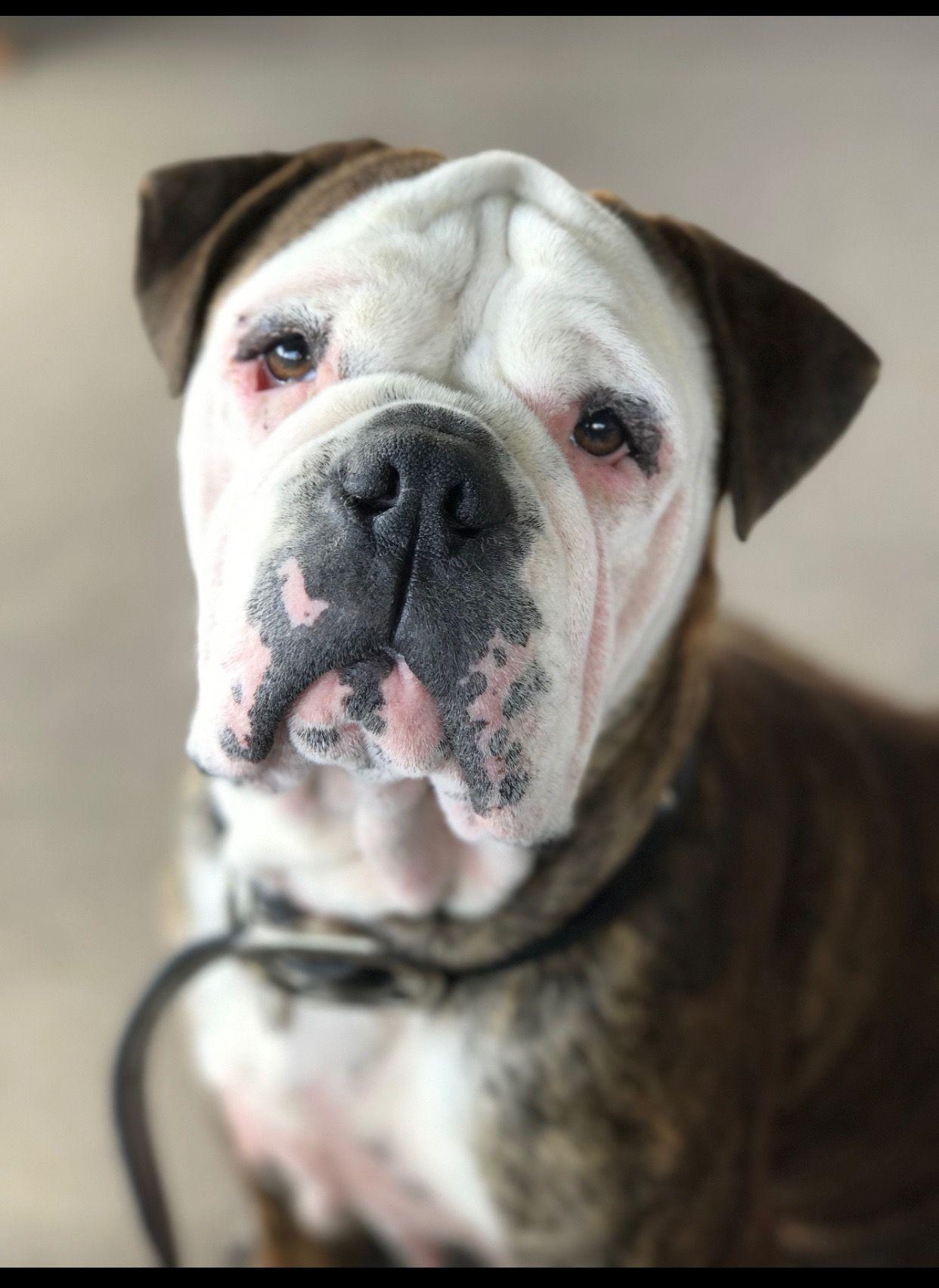 Aussie bulldog bulldog canine pets
