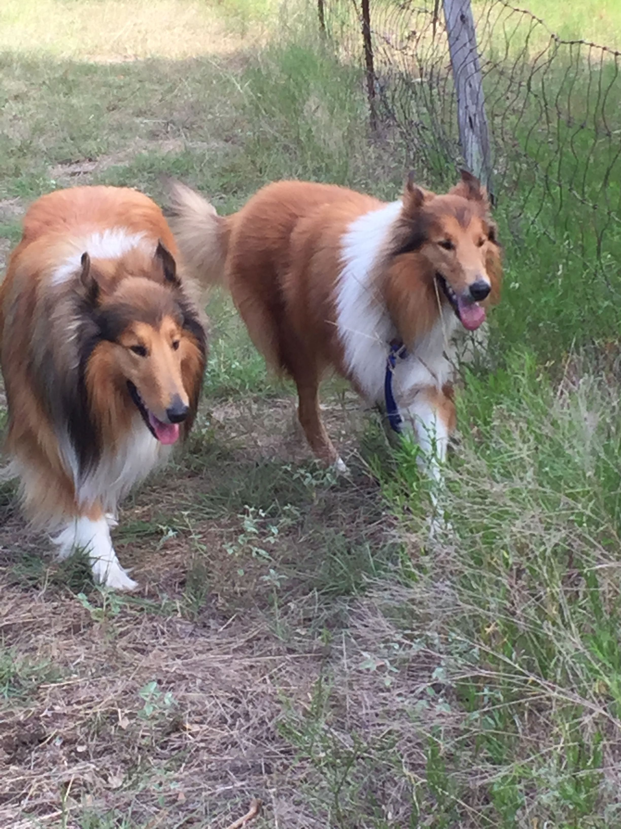 Daddy And Son Day Out Herding Dogs Sheltie Dogs Collie Dog